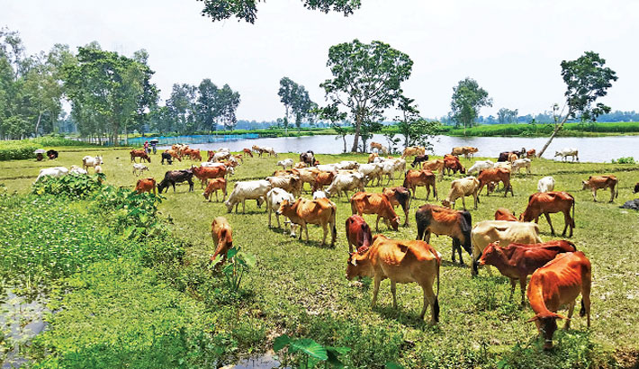 A herd of cattle is grazing in a field at Sorugram village in Dhunat Upazila of Bogura district. The photo was taken on Sunday.– PBA Photo