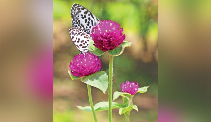 Butterflies collect nectar from flowers on Bangladesh University of Engineering and Technology (Buet) campus in the capital. The photo was taken on Tuesday. – Md nasir uddin