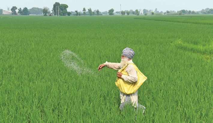 A farmer throws fertiliser in a paddy field at Klehara village, about 28 km from Amritsar on Tuesday.