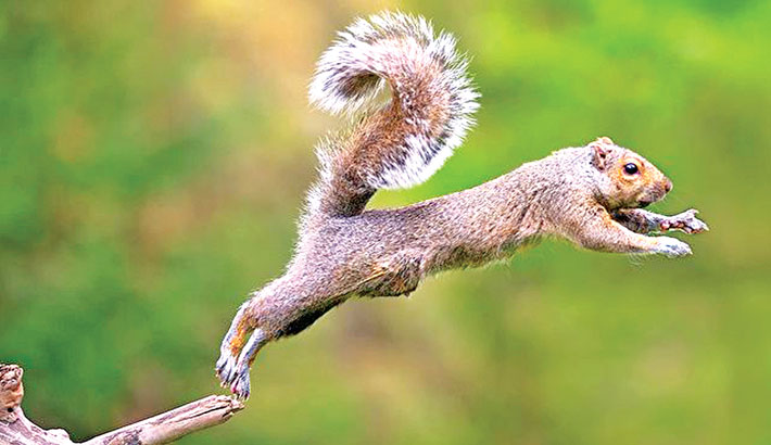 How squirrels use parkour to leap and land