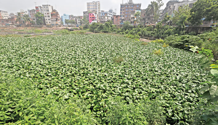 The whole Dholaikhal canal in Old Dhaka is now full of water hyacinths, which have become a breeding ground for mosquitoes. The photo was taken on Saturday. – Kamrul Islam Ratan
