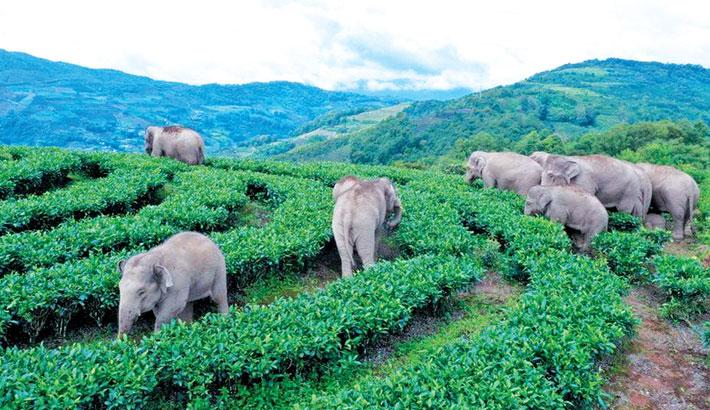 China evacuates residents as elephants head home