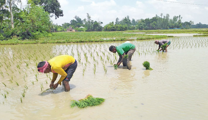 Farmers are busy transplanting Aman seedlings at a field in Paschim Bharaura village under Sreemangal Upazila of Maulvibazar district. The photo was taken on Tuesday. – PBA Photo