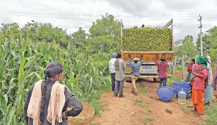 Farmers load a truck with maize at a field on the outskirts of Bangalore on Wednesday.