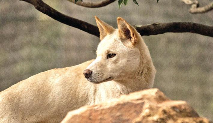 World-first footage reveals secret life of a dingo