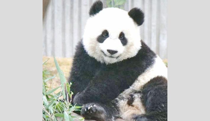 Singapore zoo breeds first panda cub