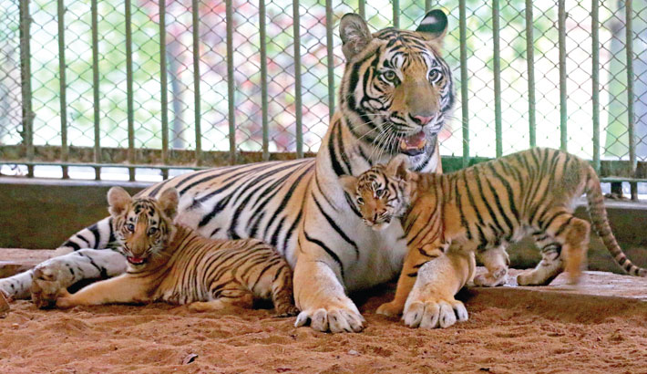 Two cubs -- Durjoy and Abantika -- have recently been born to tiger couple Tagar and Beli at the Bangladesh National Zoo in the capital, adding new members to the wildlife park. The photo was taken on Monday.—MD NASIR UDDIN