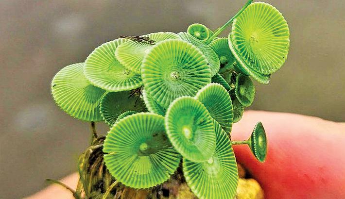 Scientists discover 'mermaid' plant species