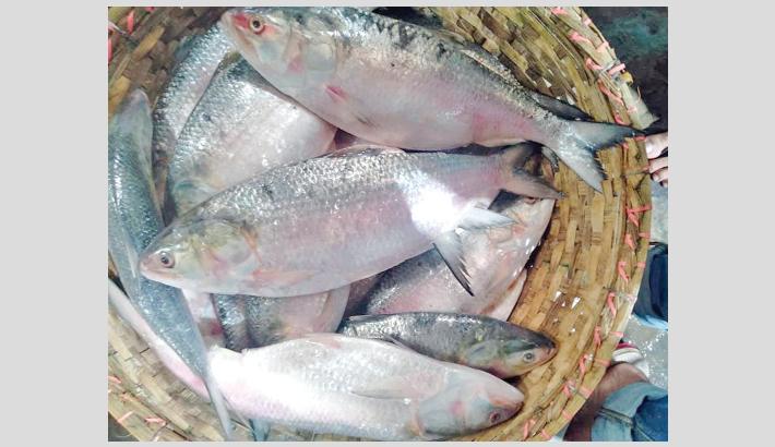 Huge hilsa catch brings smile to fishermen