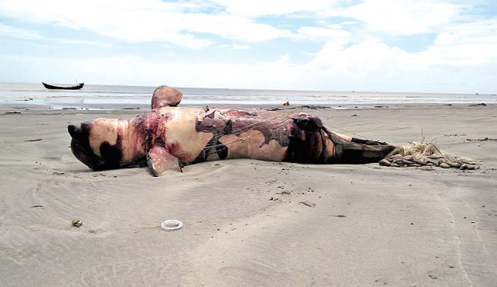 Trapped in nets, Dolphins are dying