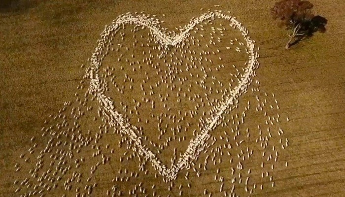 Australian farmer draws heart with sheep in tribute to aunt