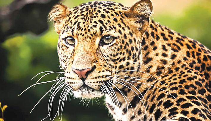 Leopard attacks model in German photoshoot