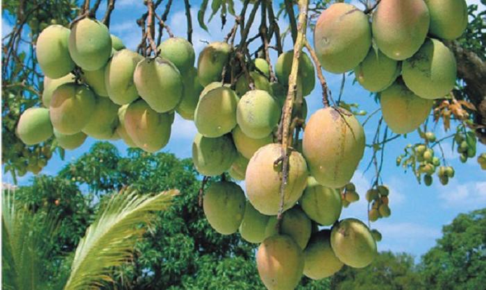 'Catimon' variety gives mango round the year in Rajshahi
