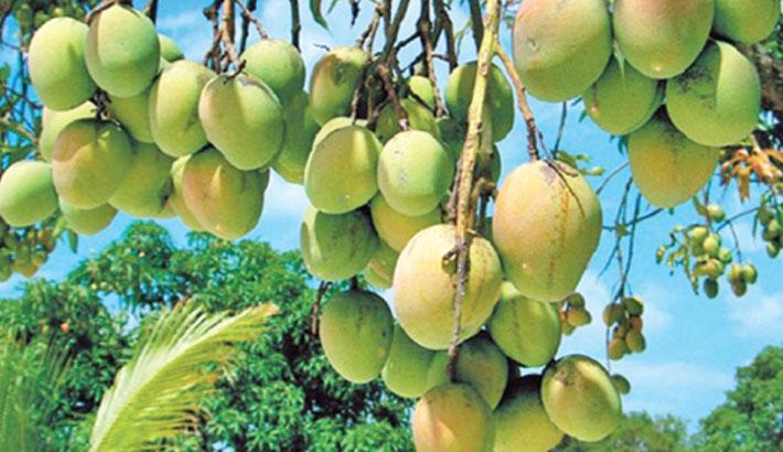 'Catimon' variety mango grows round the year