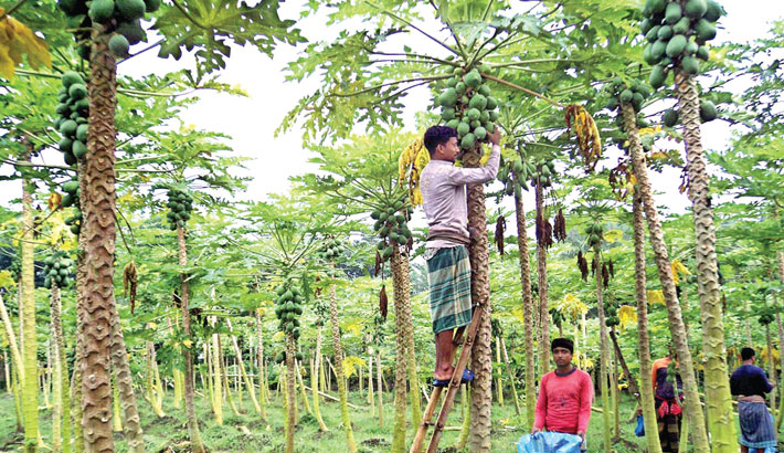 A worker is harvesting papaya at his orchard in Badanpur village of Damurhuda upazila under Chuadanga district on Saturday. The cultivation of the fruit is becoming popular in the district. – PBA Photo