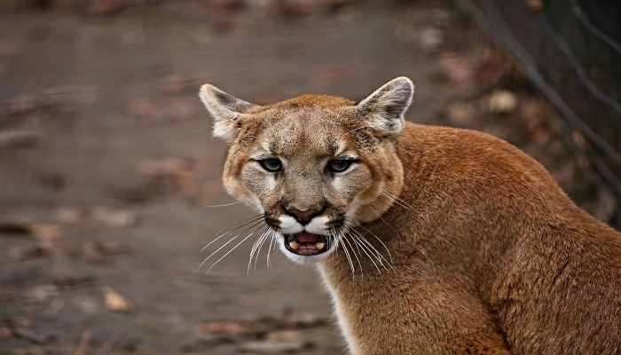 Mountain lion: US mother fights off animal attacking her son