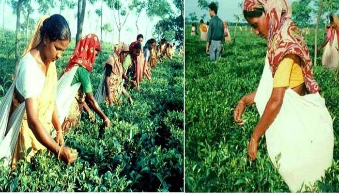 Plucking tea-leaves brings fortune for 15,000 women