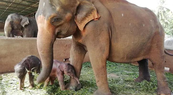 Rare twin elephants born in Sri Lankan orphanage