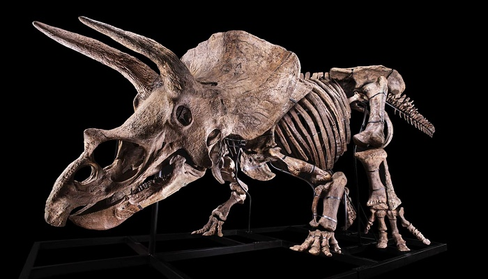 The skeleton of the world's biggest Triceratops goes on sale