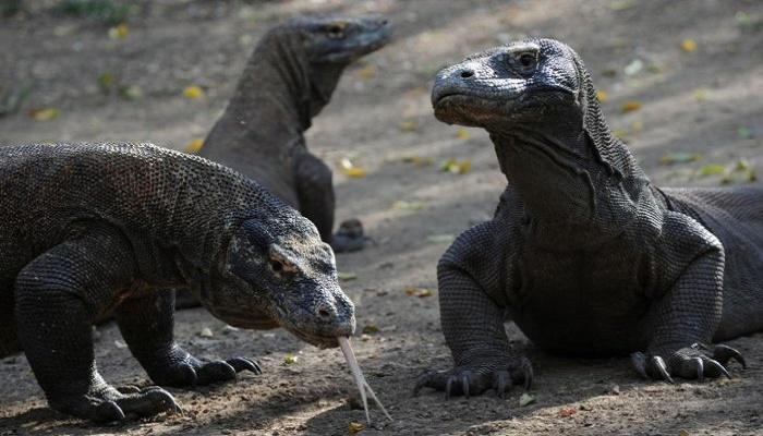 Komodo dragon, 2-in-5 shark species lurch towards extinction