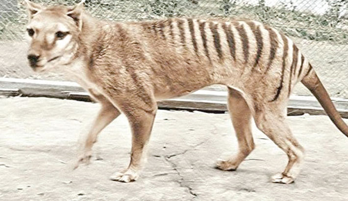 Extinct Tasmanian tiger comes alive with colour footage
