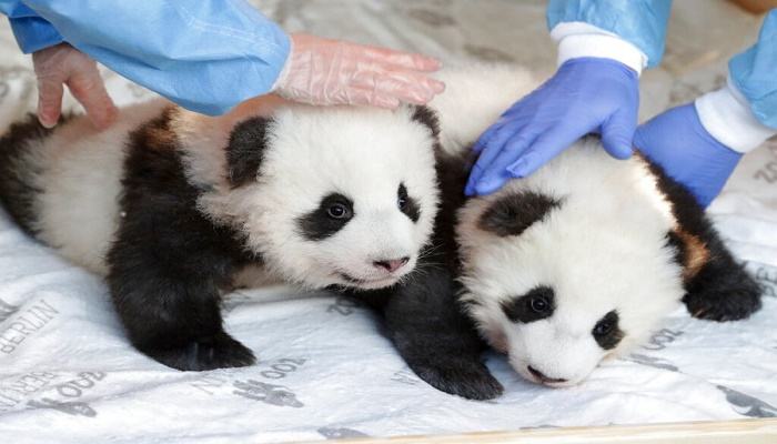 Wiggling twin panda cubs are born at the Madrid Zoo