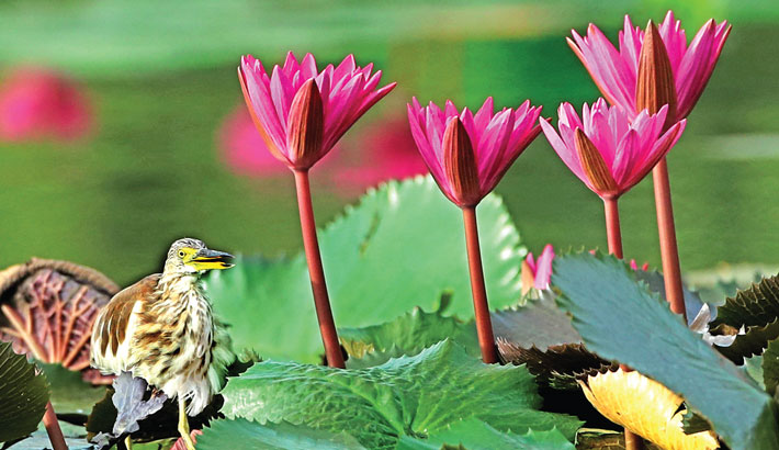 In an eye-soothing scene for visitors, a heron is seen searching for its prey standing on the leaves of water lilies in the pond of historic Suhrawardy Udyan. The photo was taken on Wednesday.—Reaz Ahmed Sumon