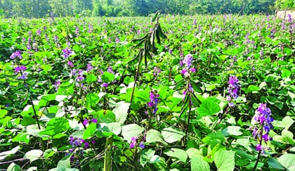 Bean growers happy with bumper yield, fair prices