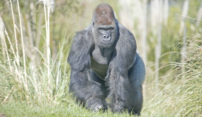 Gorillas at US zoo being treated for corona