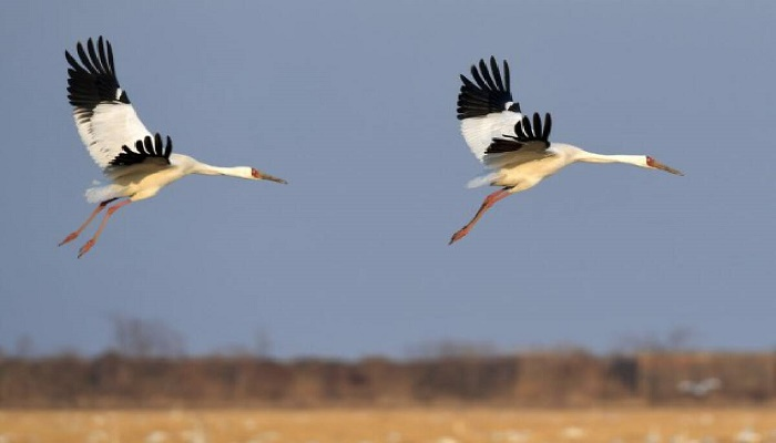 First batch of wintering birds arrive in China's Poyang Lake