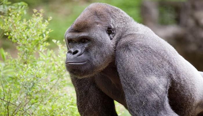 13 gorillas test positive for COVID-19 at Atlanta zoo