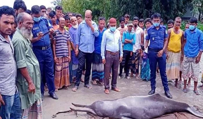 Fishermen recover dead dolphin in the river Teesta
