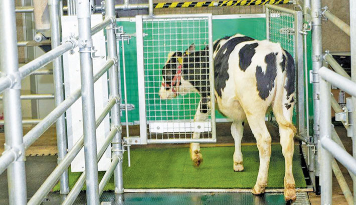 Cows trained to use 'special toilet'