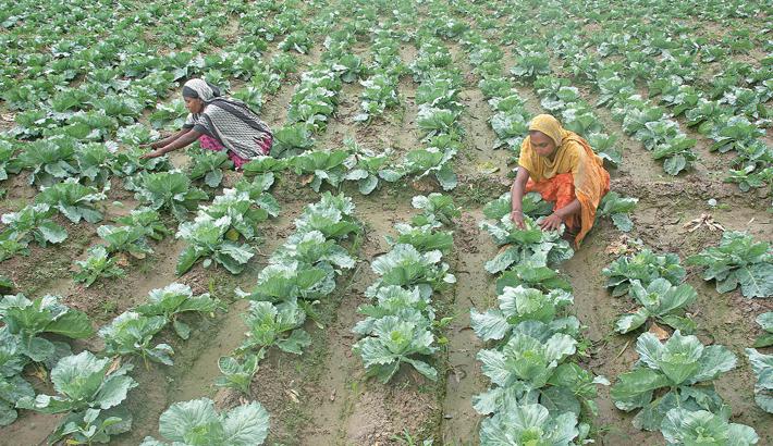 Female workers are busy taking care at cabbage field in Fulbari village of Sherpur Upazila under Bogura district. The photo was taken on Thursday.— MONIRULISLAMMARUF