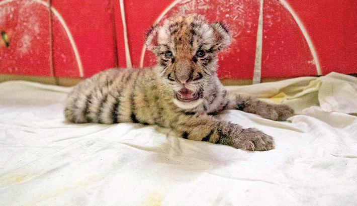 Ctg Zoo gets new tiger cub