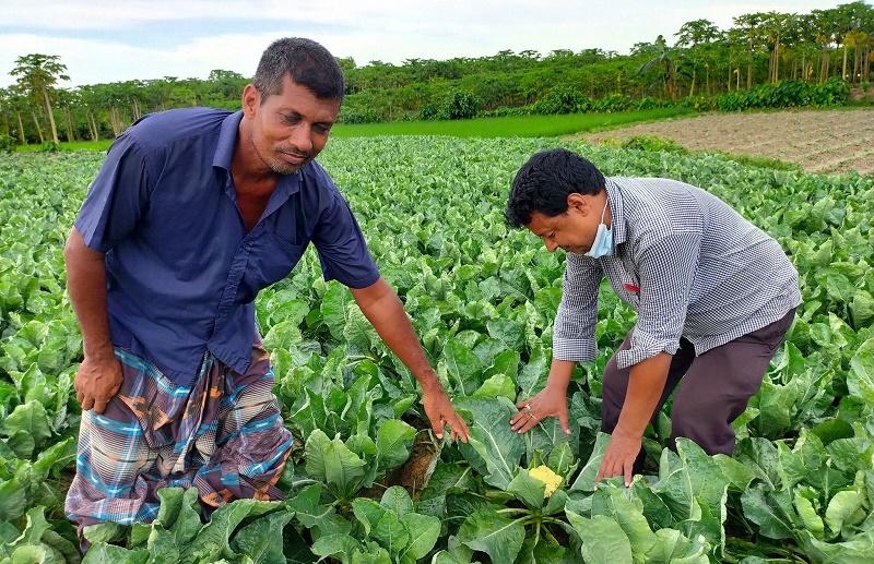 Summer cauliflower farming delights Rajshahi farmers