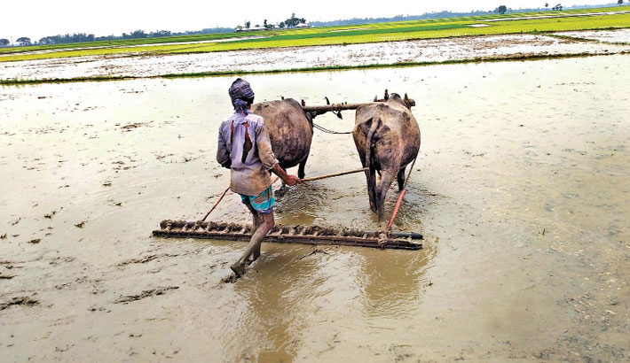 A farmer is preparing seedbed by using traditional buffalo-drawn leveller at a field in Ichapur village under Ramganj Upazila of Lakshmipur district. The photo was taken on Friday. – Sun Photo