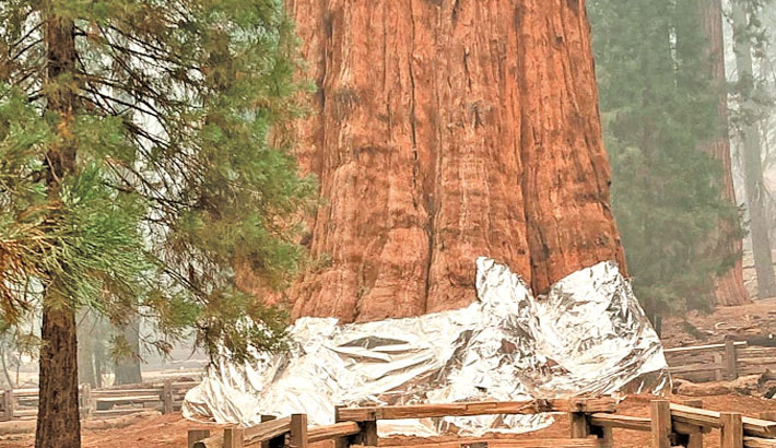 Firefighters battle to protect world's biggest tree