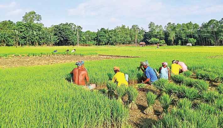 Farmers are busy uprooting Aman seedlings from a seedbed for transplantation at Chobilapur village in Melandaha upazila of Jamalpur district. The photo was taken on Friday. – PBA Photo