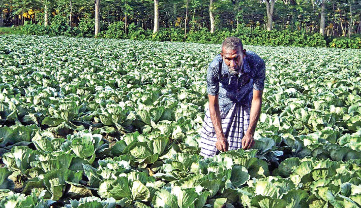 A farmer is taking care of his early variety cabbage field expecting good yield and profit. The photo was taken from the field of Damurhuda village in Damurhuda upazila of Chuadanga district on Saturday. – PBA Photo