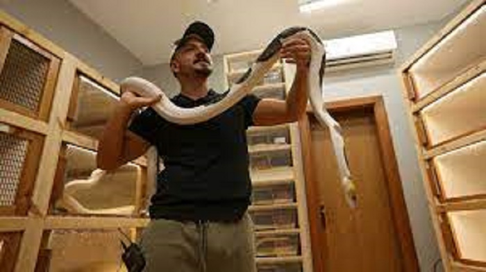 Saudi masters 'live art' of python crossbreeding in palace home