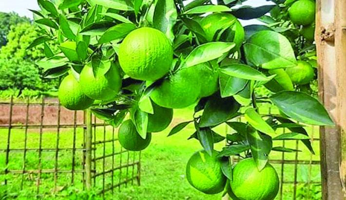 Green malta cultivation gets popular in Brahmanbaria