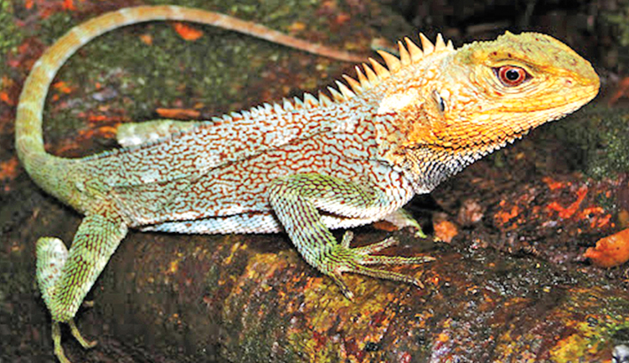 New lizard species discovered in Peru