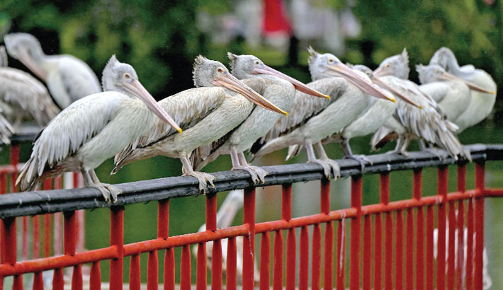 Spot-billed pelican sit on the railing of a bridge in Colombo, Sri Lanka on Tuesday. — AFP PHOTO