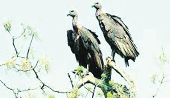 Extinction of vultures a threat to environment