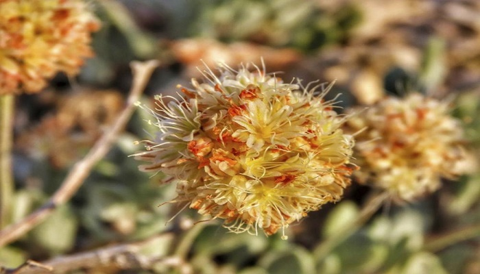 Endangered status proposed for Nevada flower at lithium mine