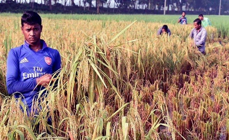 Short duration Aman rice harvest begins in Rangpur region