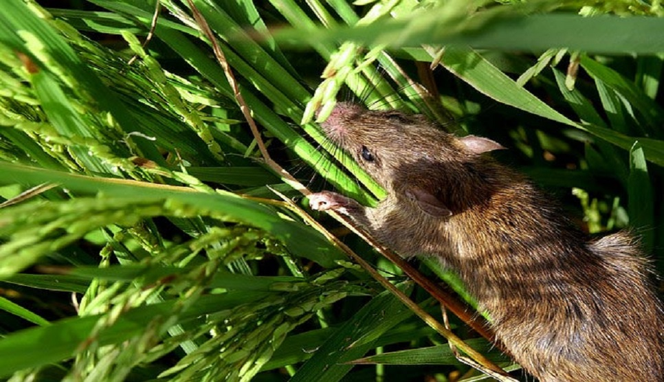 Country sees destruction of crops worth Tk2,900cr by rats per annum