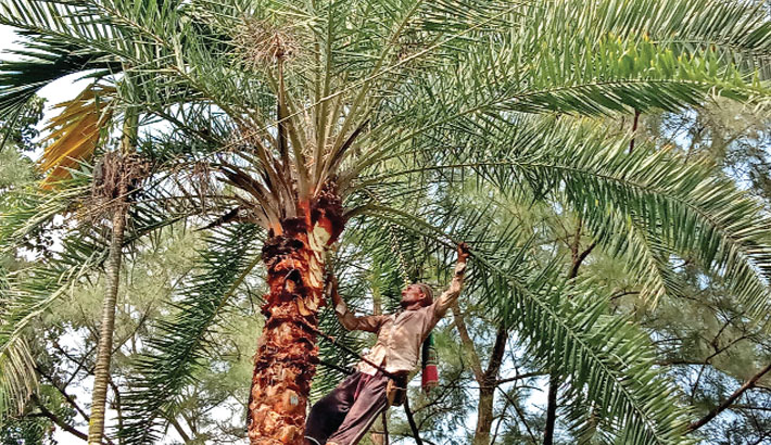 A man cuts channel on the bark of a date tree for collection of testy juice. The scene is common in rural areas in winter. The photo was taken from Gopalpur area of Lalpur upazila in Natore district on Wednesday. — Sun Photo