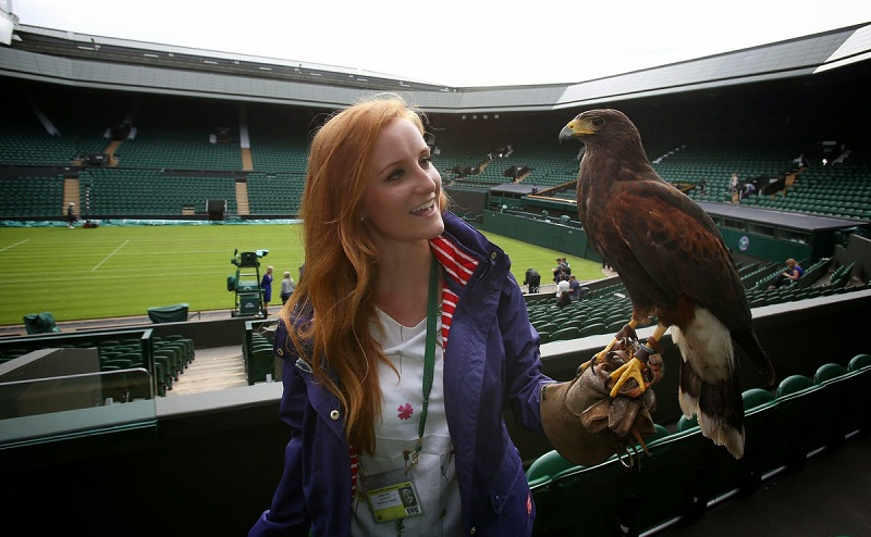 Rufus the hawk rules the Wimbledon skies